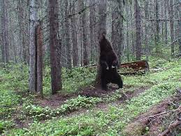 bear against tree