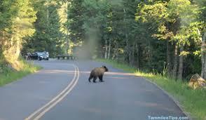 bear crossing road